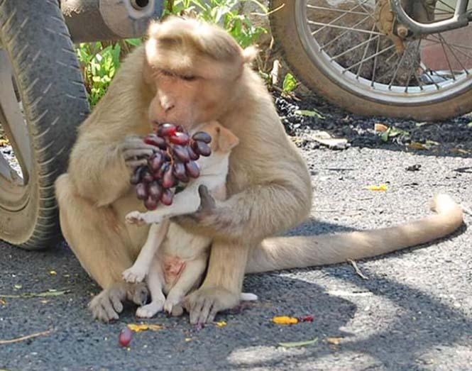 Μαϊμού πήρε κουτάβι υπό την προστασία της (6)