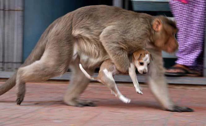 Μαϊμού πήρε κουτάβι υπό την προστασία της (7)