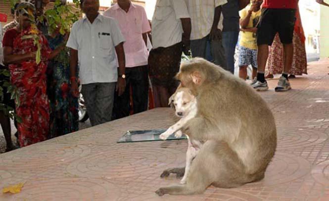 Μαϊμού πήρε κουτάβι υπό την προστασία της (8)