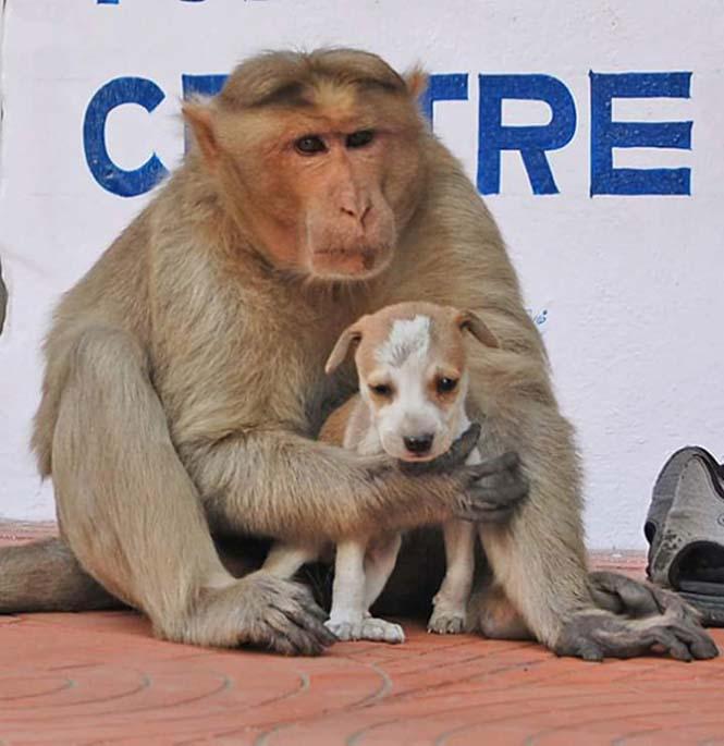 Μαϊμού πήρε κουτάβι υπό την προστασία της (9)
