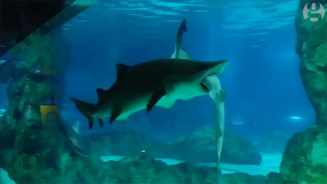 Μεγάλος θηλυκός καρχαρίας έφαγε το αρσενικό ταίρι του σε ενυδρείο