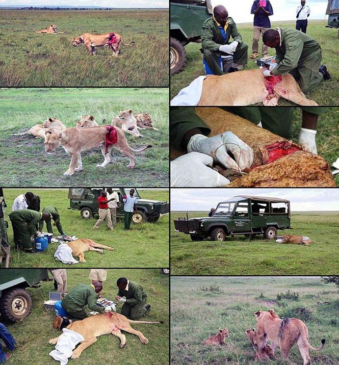 Σώζοντας την ζωή ενός λιονταριού | Φωτογραφία της ημέρας