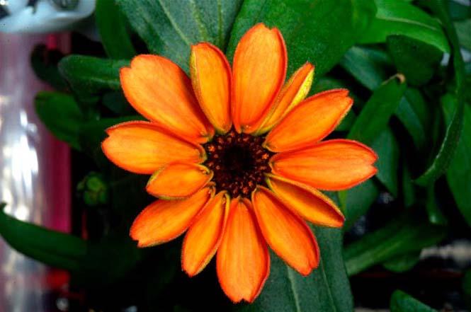 Το πρώτο λουλούδι που άνθισε στο διάστημα (2)