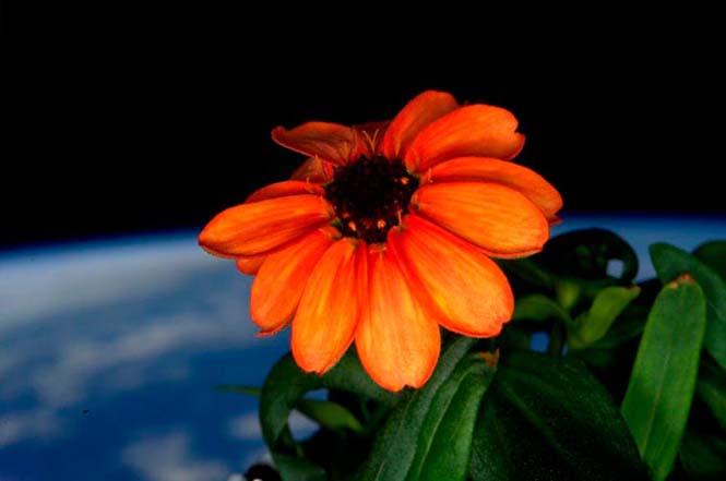 Το πρώτο λουλούδι που άνθισε στο διάστημα (3)