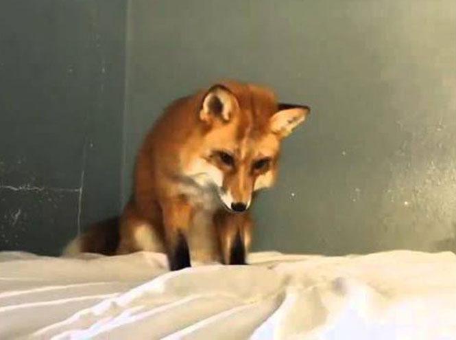 Αλεπού νομίζει πως ένα λευκό σεντόνι είναι χιόνι