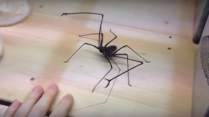 Άνδρας παίζει με αράχνη-μαστίγιο