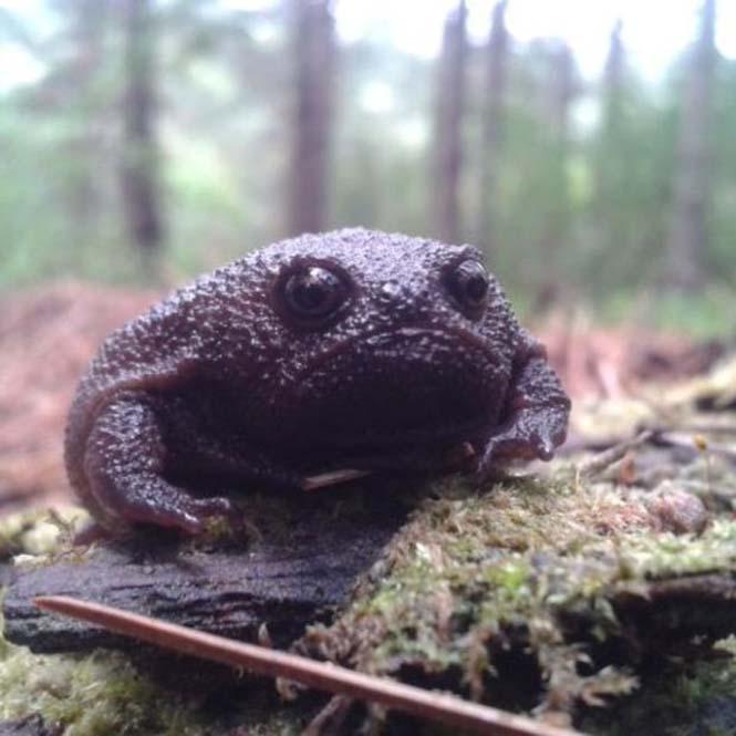 Δυσαρεστημένος μαύρος βάτραχος (1)