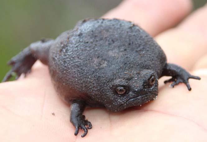 Δυσαρεστημένος μαύρος βάτραχος (2)