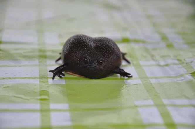 Δυσαρεστημένος μαύρος βάτραχος (3)