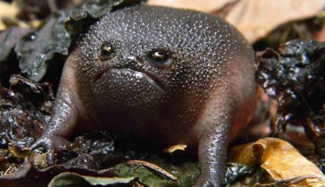 Δυσαρεστημένος μαύρος βάτραχος (4)