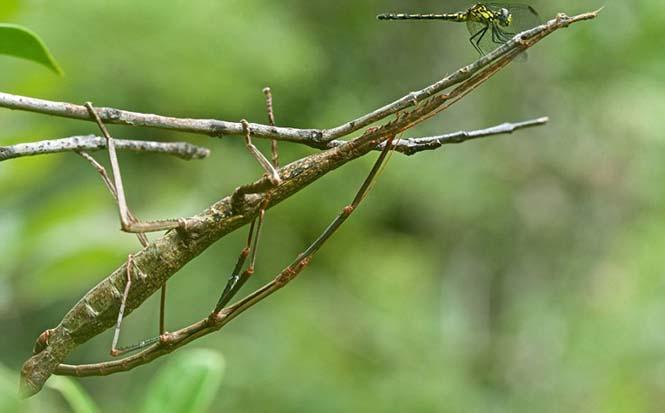 Έντομα - σπεσιαλίστες του καμουφλάζ που γίνονται ένα με το περιβάλλον (3)
