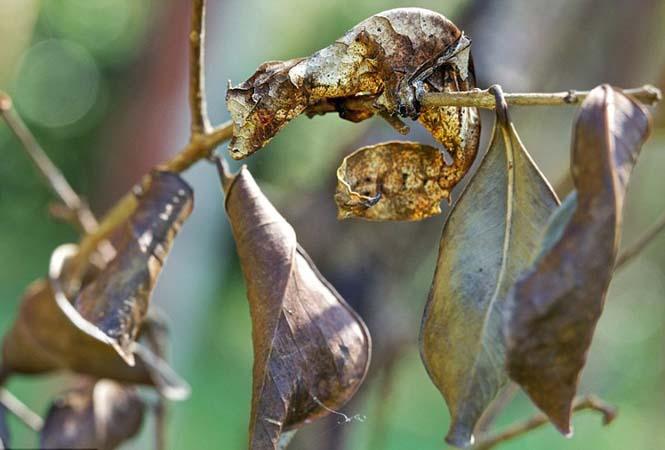 Έντομα - σπεσιαλίστες του καμουφλάζ που γίνονται ένα με το περιβάλλον (8)
