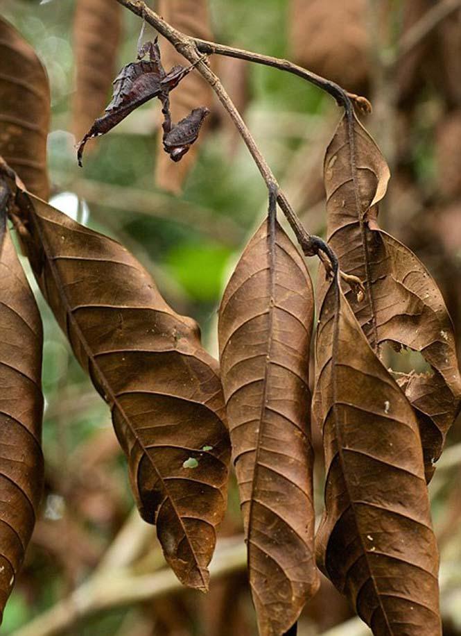 Έντομα - σπεσιαλίστες του καμουφλάζ που γίνονται ένα με το περιβάλλον (12)