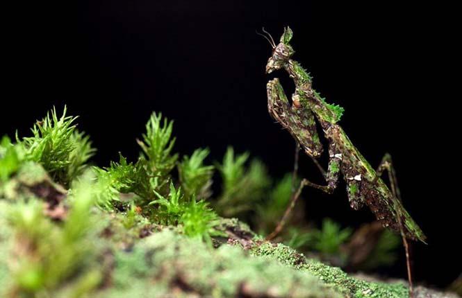 Έντομα - σπεσιαλίστες του καμουφλάζ που γίνονται ένα με το περιβάλλον (16)