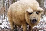 Το γουρούνι που θυμίζει περισσότερο πρόβατο (1)