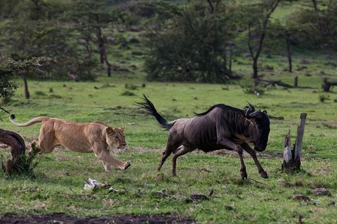 Μάχη ανάμεσα σε γκνου και λιοντάρι