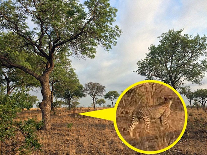 Μπορείτε να εντοπίσετε το τσιτάχ στη φωτογραφία; (2)