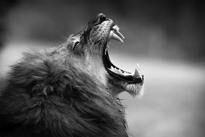 Όταν βρυχάται ο βασιλιάς | Φωτογραφία της ημέρας