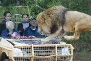 Πόσο ψύχραιμοι θα παραμένατε με ένα λιοντάρι πάνω στο καπό του αυτοκινήτου; (1)