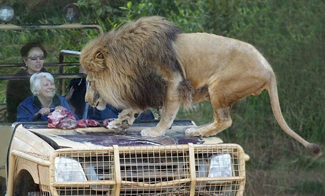 Πόσο ψύχραιμοι θα παραμένατε με ένα λιοντάρι πάνω στο καπό του αυτοκινήτου; (2)