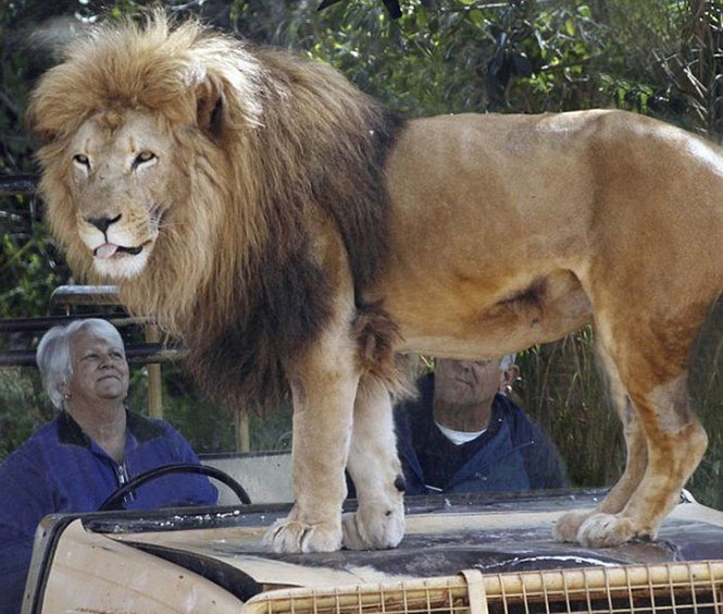 Πόσο ψύχραιμοι θα παραμένατε με ένα λιοντάρι πάνω στο καπό του αυτοκινήτου; (3)