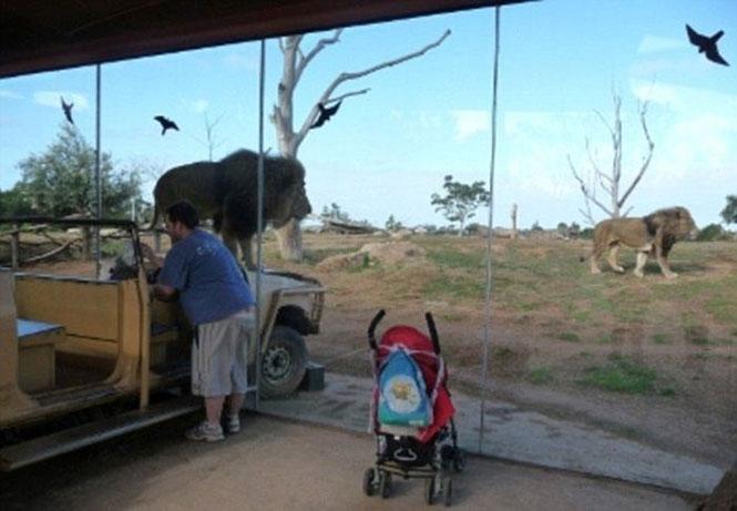 Πόσο ψύχραιμοι θα παραμένατε με ένα λιοντάρι πάνω στο καπό του αυτοκινήτου; (4)