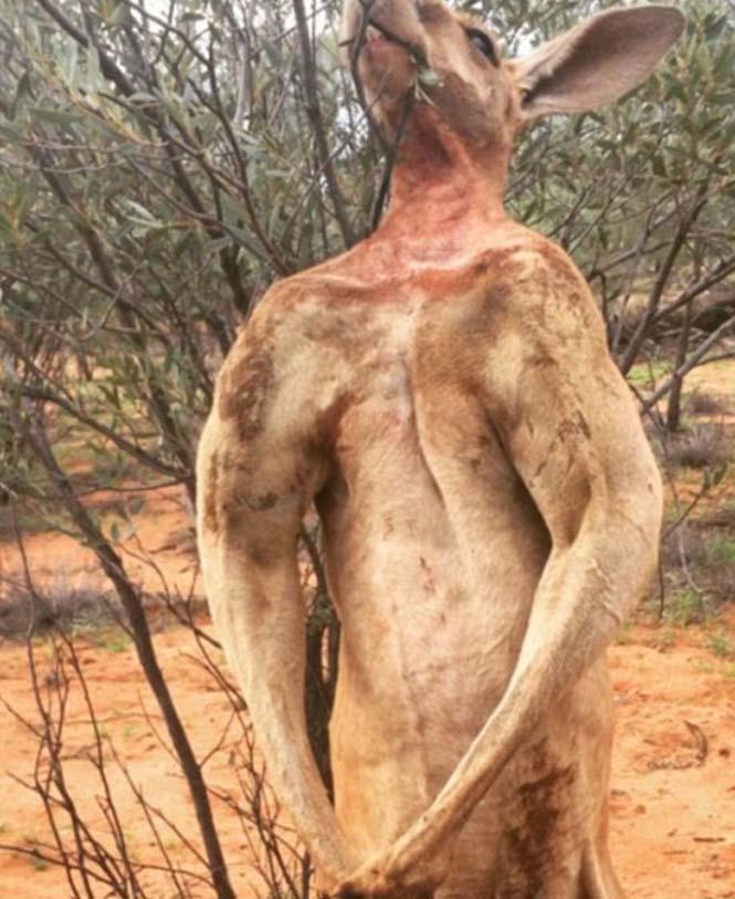 Roger, το πιο μυώδες καγκουρό του πλανήτη (9)