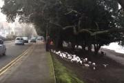 Ανυπόμονες πάπιες κατέλαβαν τον δρόμο όταν άργησε να έρθει ο άνθρωπος που τις ταΐζει