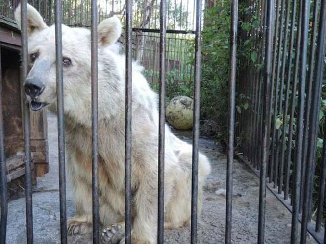Η διάσωση και μεταμόρφωση μιας αρκούδας (4)