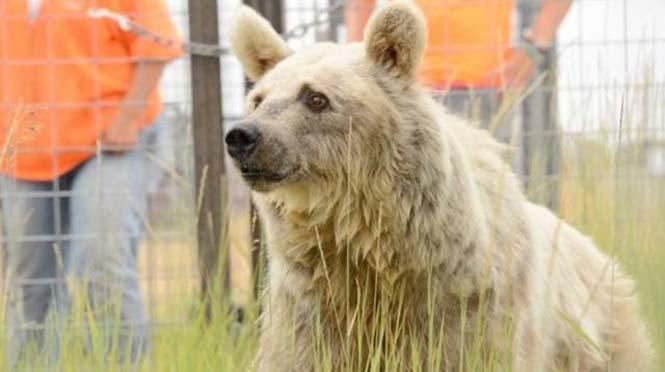 Η διάσωση και μεταμόρφωση μιας αρκούδας (6)