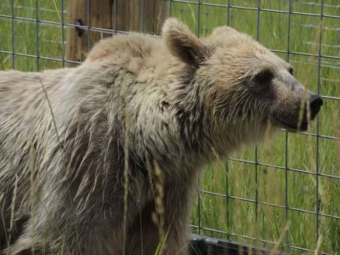Η διάσωση και μεταμόρφωση μιας αρκούδας (7)
