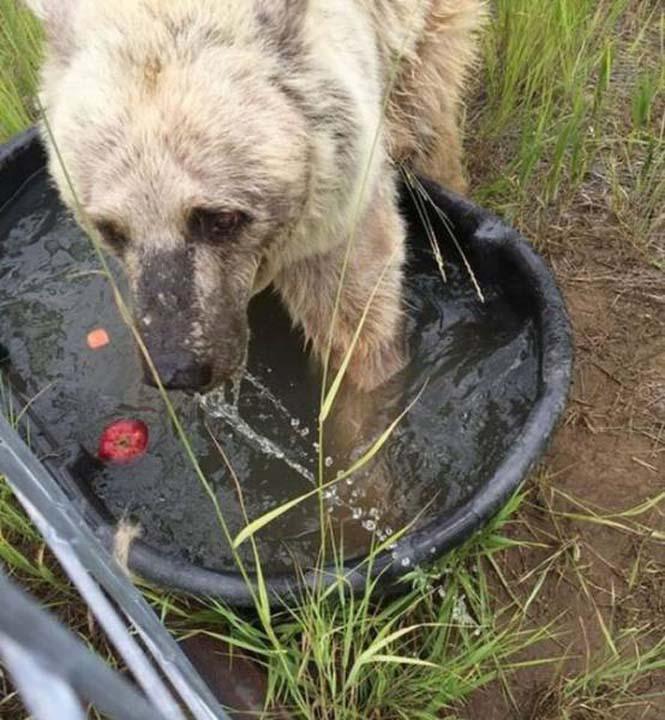 Η διάσωση και μεταμόρφωση μιας αρκούδας (8)