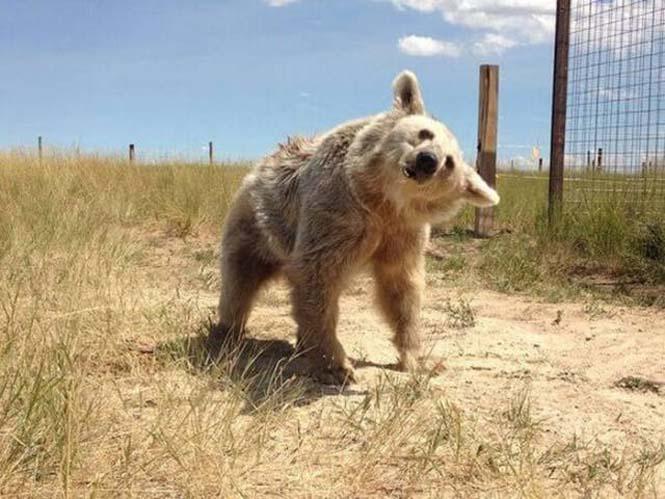 Η διάσωση και μεταμόρφωση μιας αρκούδας (9)