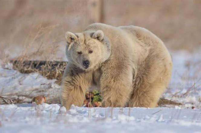 Η διάσωση και μεταμόρφωση μιας αρκούδας (10)