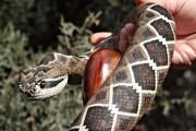 Φαίνεται σαν αληθινό φίδι αλλά δεν είναι (5)