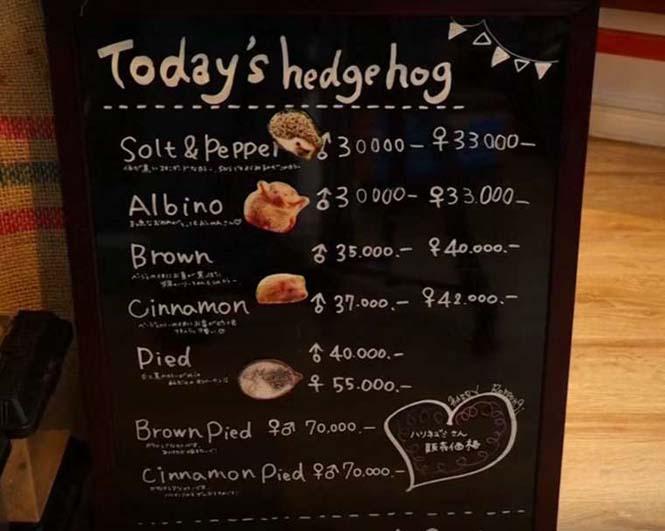 Cafe με σκαντζόχοιρους στο Τόκιο (2)