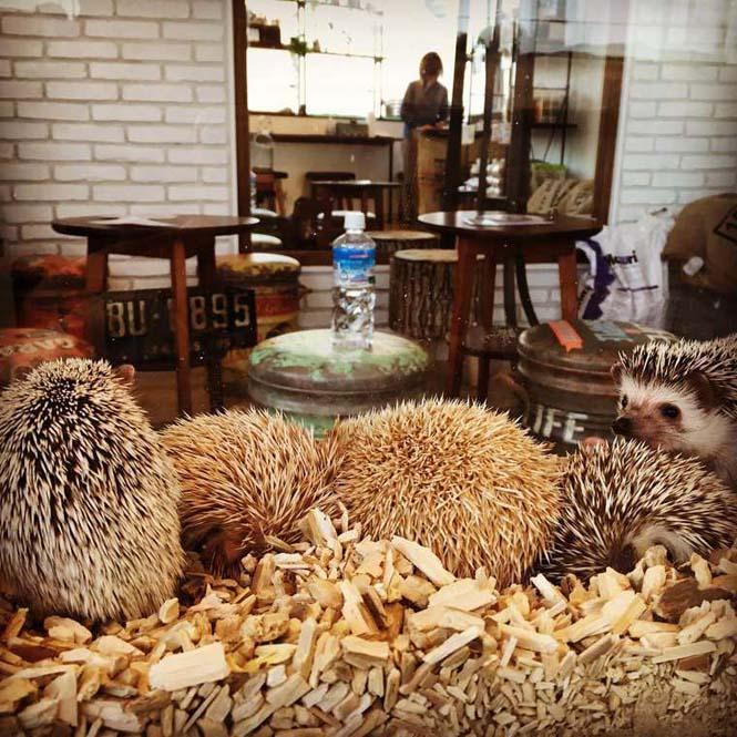 Cafe με σκαντζόχοιρους στο Τόκιο (4)