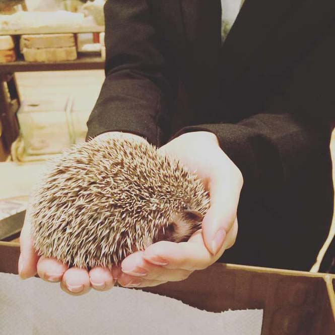 Cafe με σκαντζόχοιρους στο Τόκιο (6)