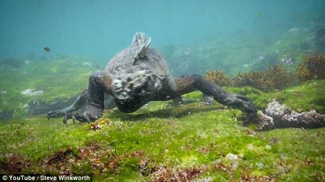 Ιγκουάνα «γκοτζίλα» προκαλεί ανατριχίλα κολυμπώντας στα νερά του Ειρηνικού (1)