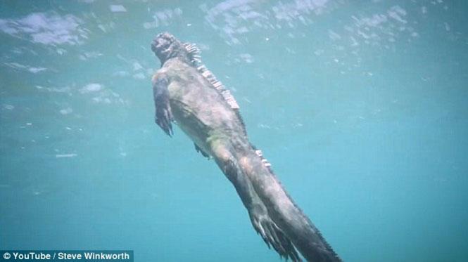 Ιγκουάνα «γκοτζίλα» προκαλεί ανατριχίλα κολυμπώντας στα νερά του Ειρηνικού (4)