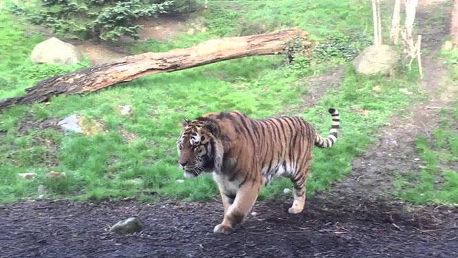 Να τι συμβαίνει όταν ξυπνάς μια τίγρη