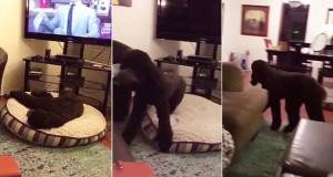 Αυτός ο σκύλος τρέχει στο κρεβάτι κάθε φορά που κλείνει η τηλεόραση (Video)