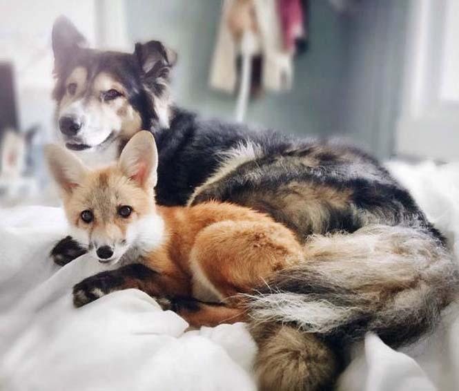 Αλεπού και σκύλος έχουν γίνει αχώριστοι φίλοι (1)