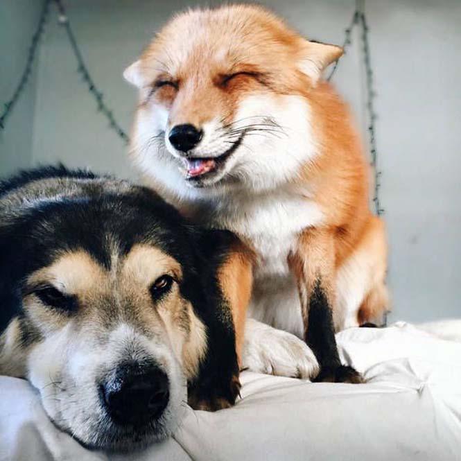 Αλεπού και σκύλος έχουν γίνει αχώριστοι φίλοι (2)