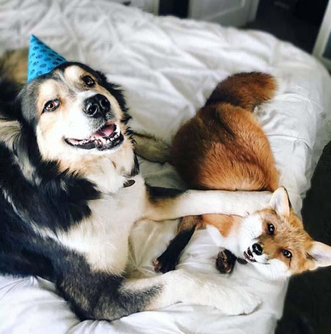 Αλεπού και σκύλος έχουν γίνει αχώριστοι φίλοι (3)