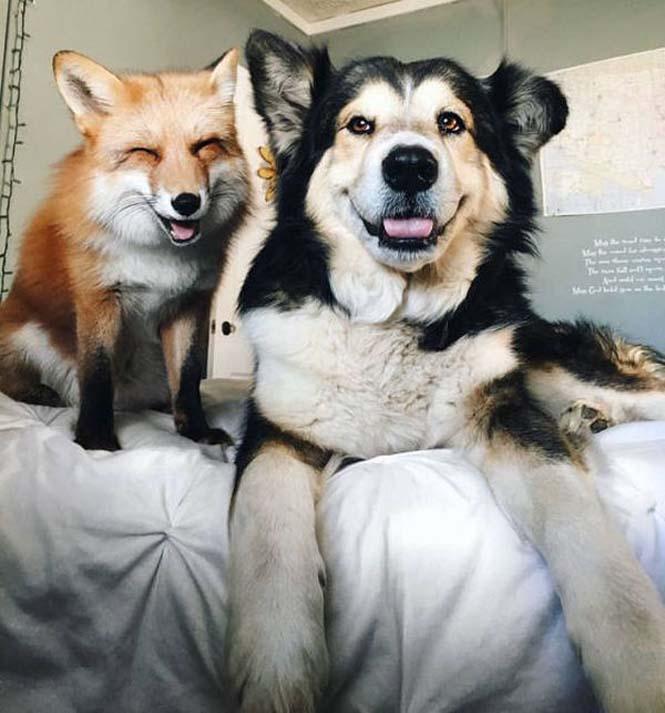 Αλεπού και σκύλος έχουν γίνει αχώριστοι φίλοι (4)