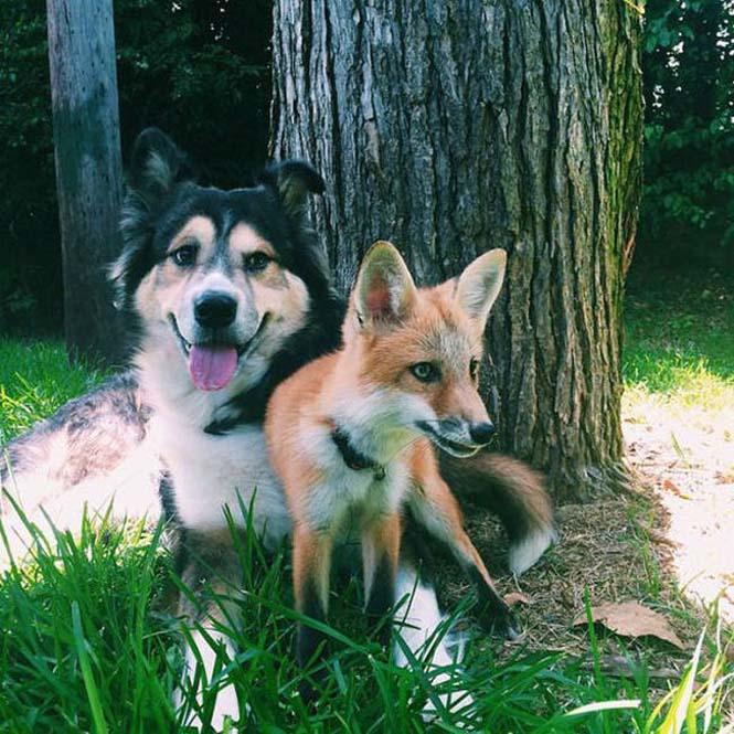 Αλεπού και σκύλος έχουν γίνει αχώριστοι φίλοι (7)