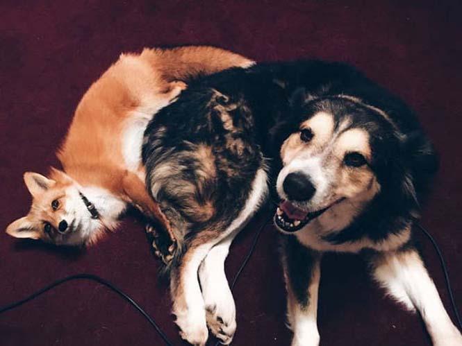 Αλεπού και σκύλος έχουν γίνει αχώριστοι φίλοι (8)
