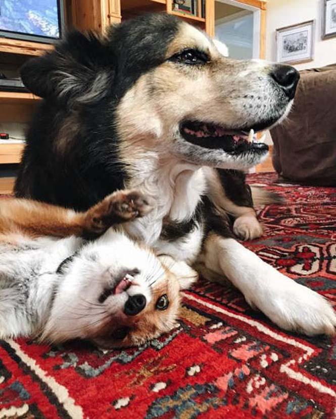 Αλεπού και σκύλος έχουν γίνει αχώριστοι φίλοι (10)