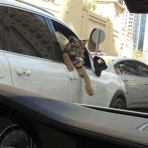 Στο Dubai μπορείς να συναντήσεις κυριολεκτικά τα πάντα... (9)